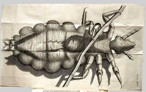 02b Micrographia - Louse